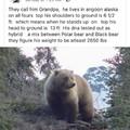 Grandpa bear