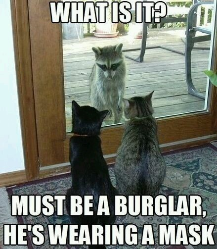 Cats think the racoon is wearing a mask - meme