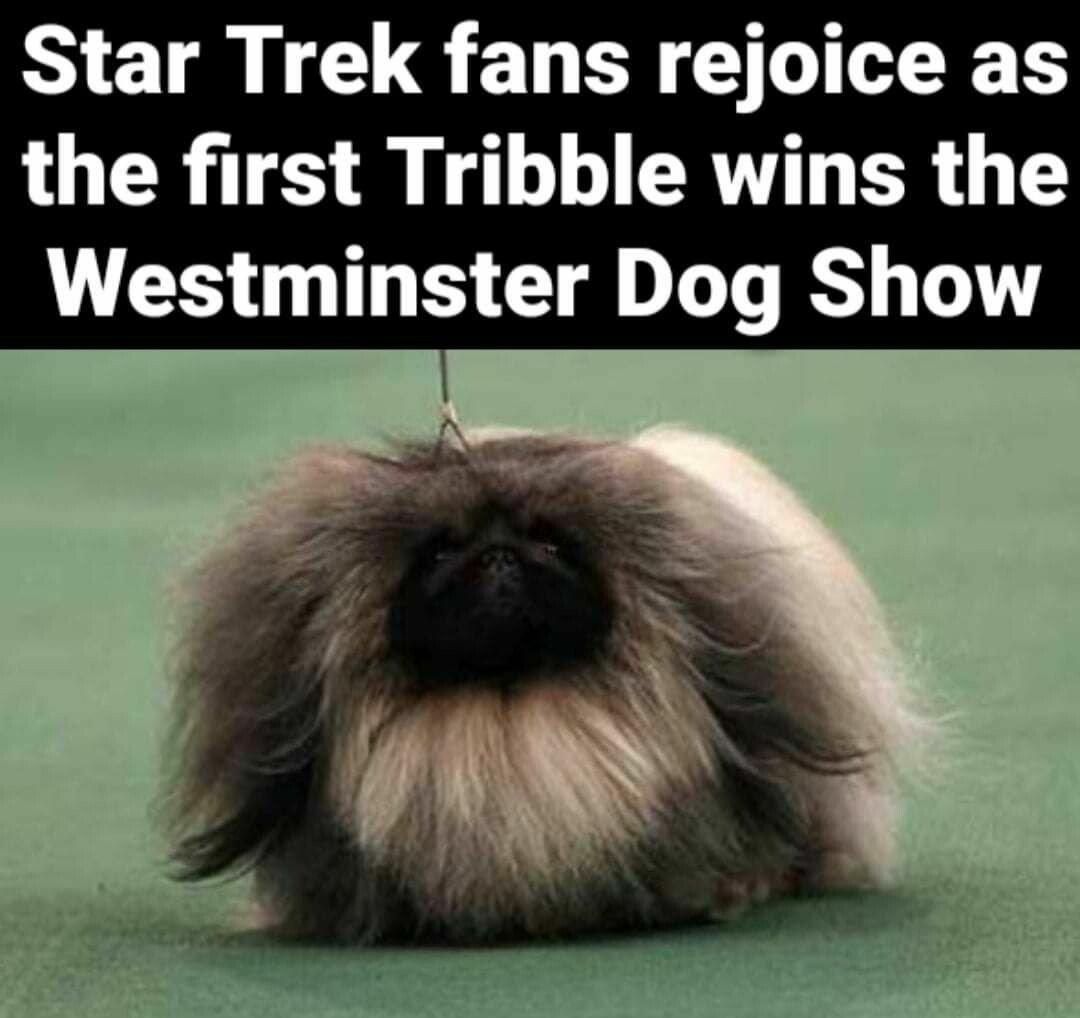 Tribble wins Westminster - meme