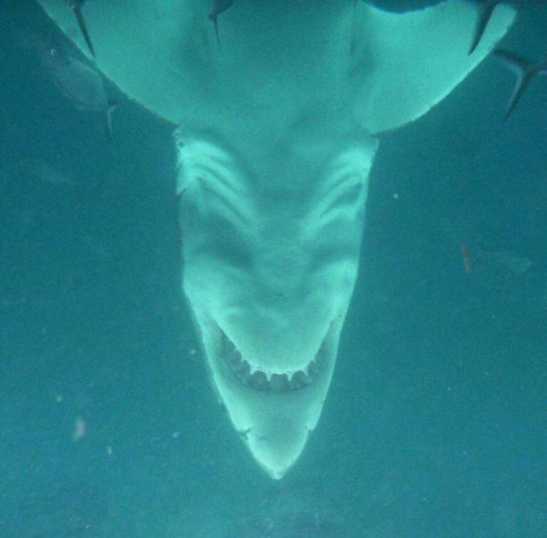 Tiburon blanco al rebes - meme