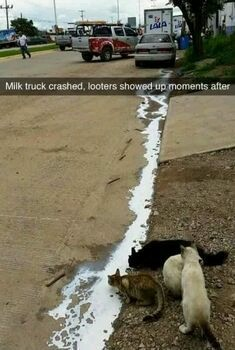 Free milk for the cats - meme