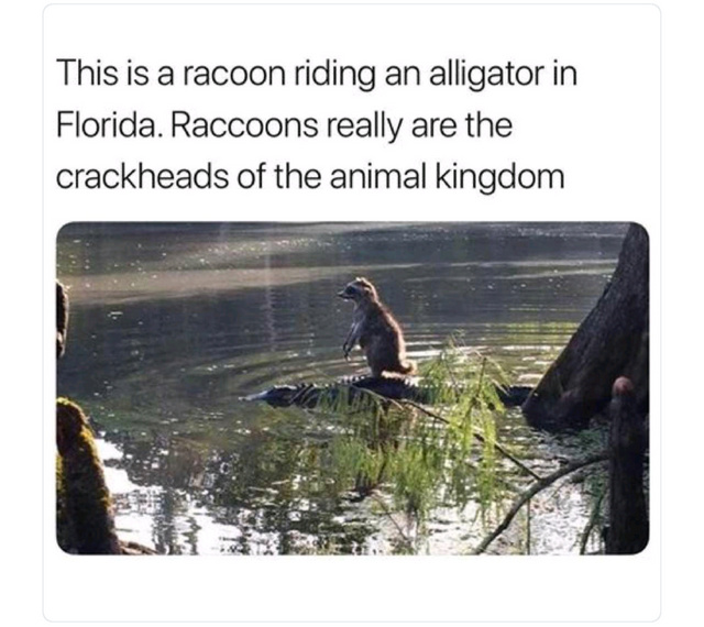 Raccon riding an alligator in Florida - meme