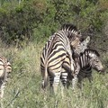 Zebras to celebrate 8/1.