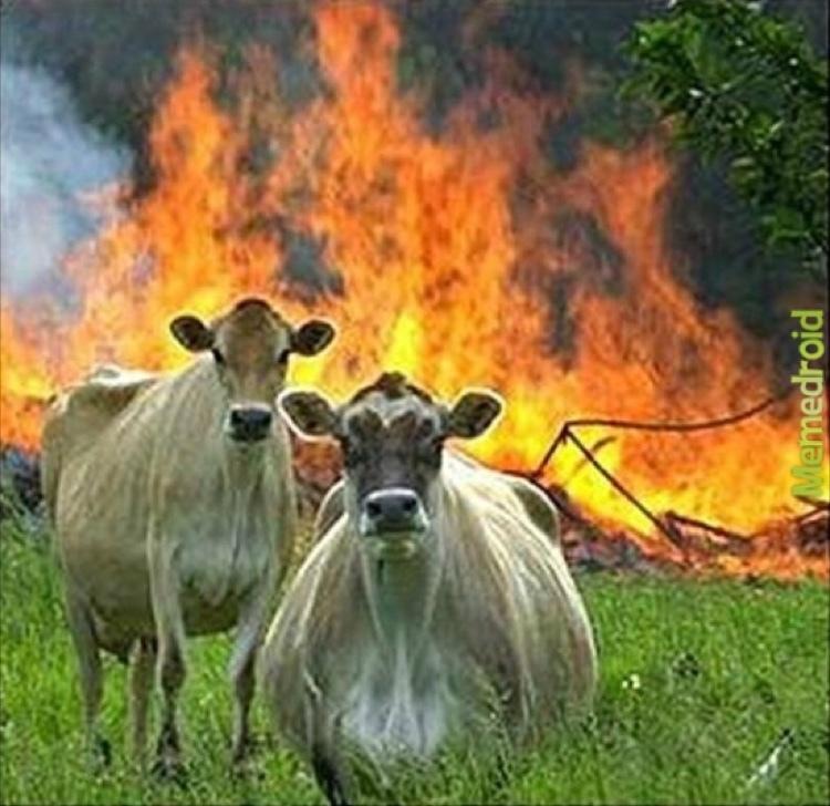 Evil Cows - meme