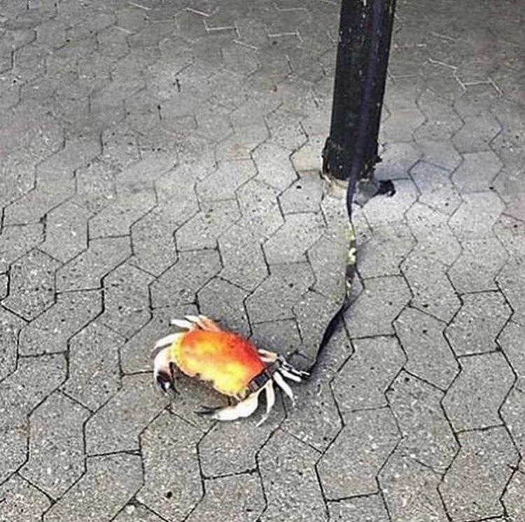 chien breton - meme