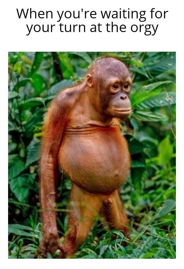 Orgy Orangutan - meme