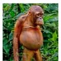 Orgy Orangutan