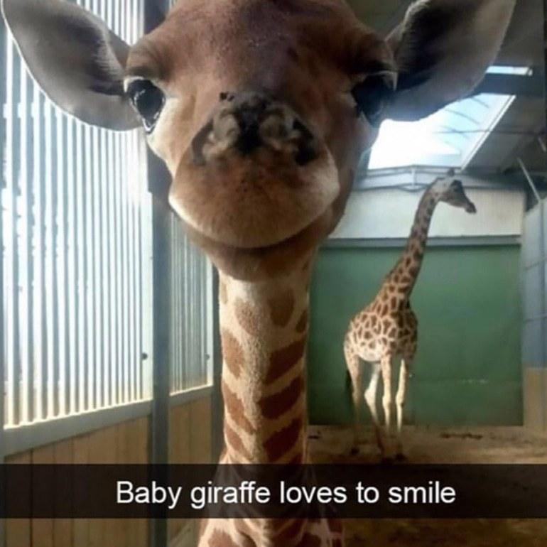 Baby giraffe loves to smils | gagbee.com - meme