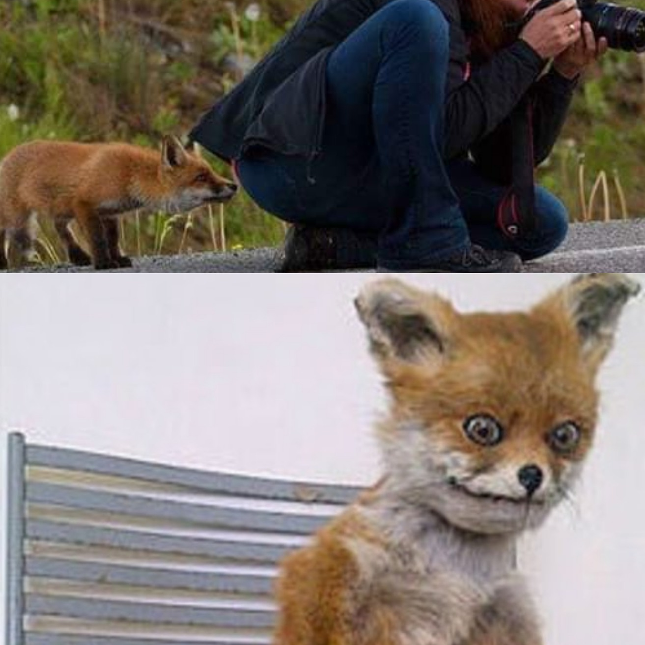 What does the fox smell - meme