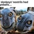 Si les naseaux des ânes avaient des yeux...