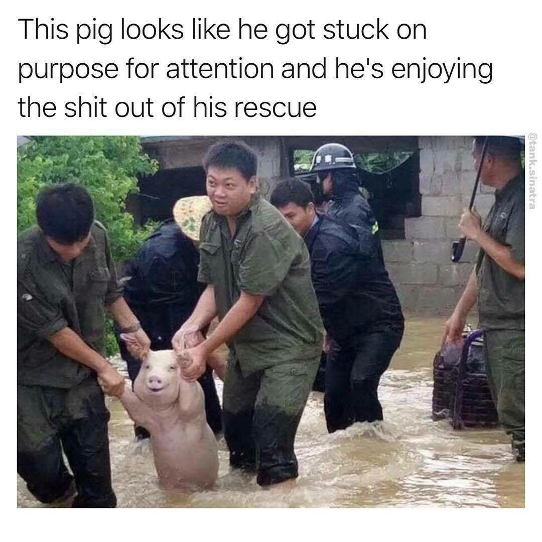 doggo but actually a pig - meme