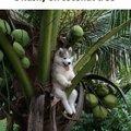 A husky on a coconut tree