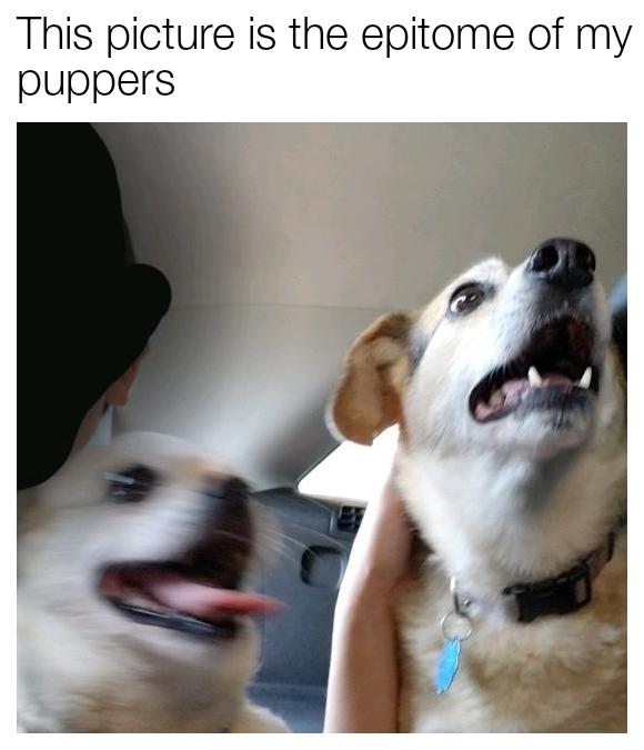 Good doggos - meme