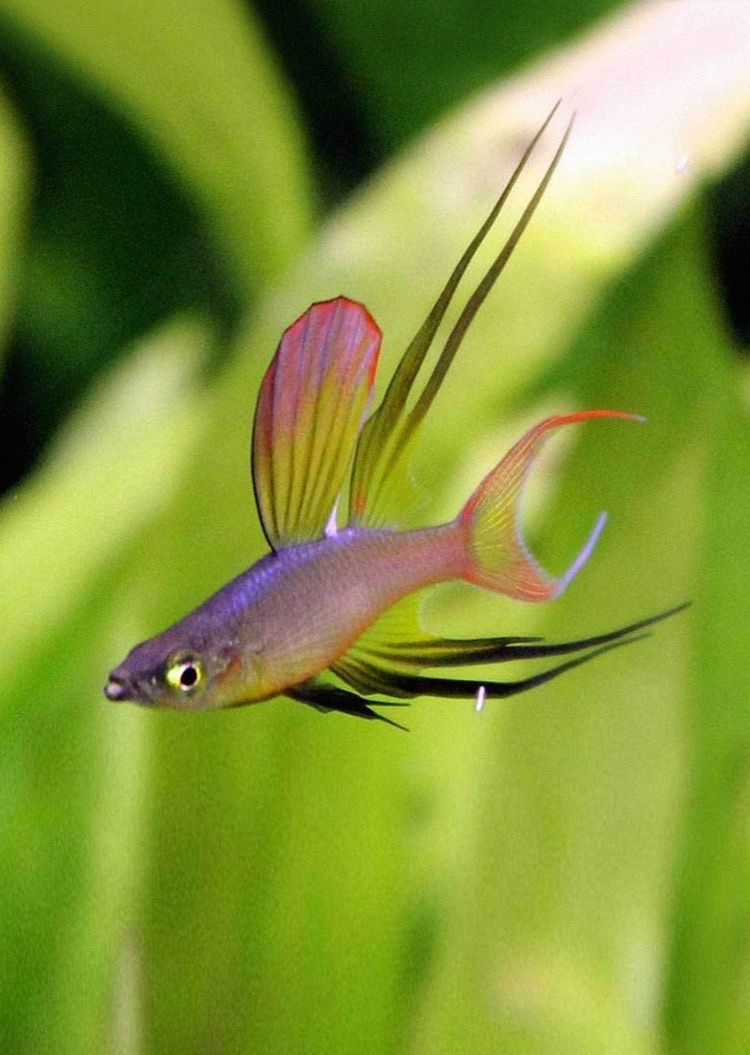 threadfin rainbowfish (one of my personal favourites) - meme