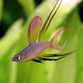 threadfin rainbowfish (one of my personal favourites)