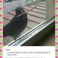 Talented Crow