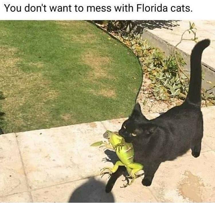 free iguana - meme