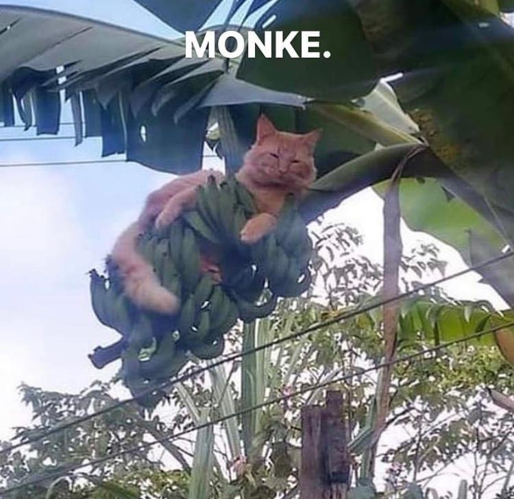 return to monke cat - meme