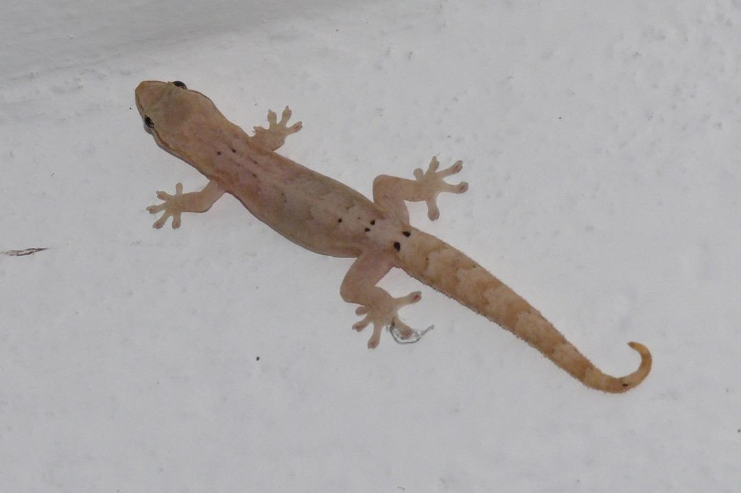 Tuteca o gecko? como le dices tu? - meme
