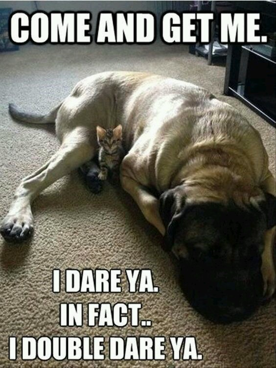 Cat is protected by dog - meme