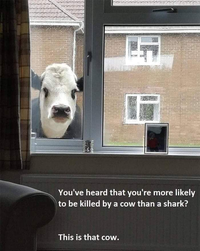 That cow - meme