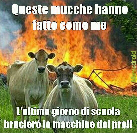 Mucche a scuola - meme