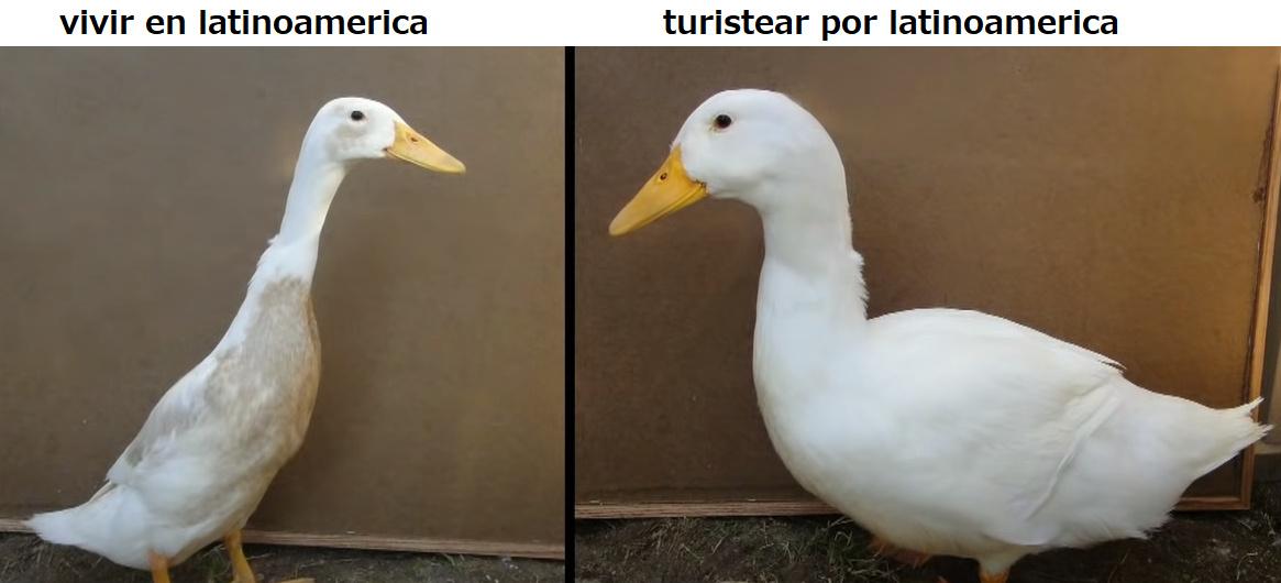 Patos - meme