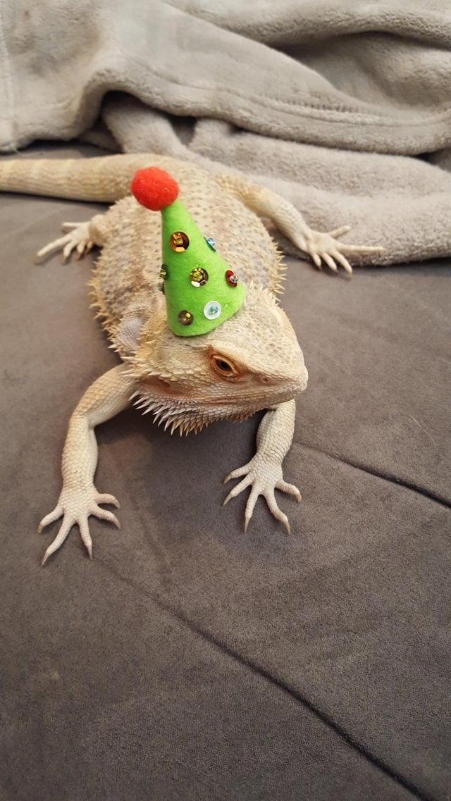 a bearded dragon in a hat - meme
