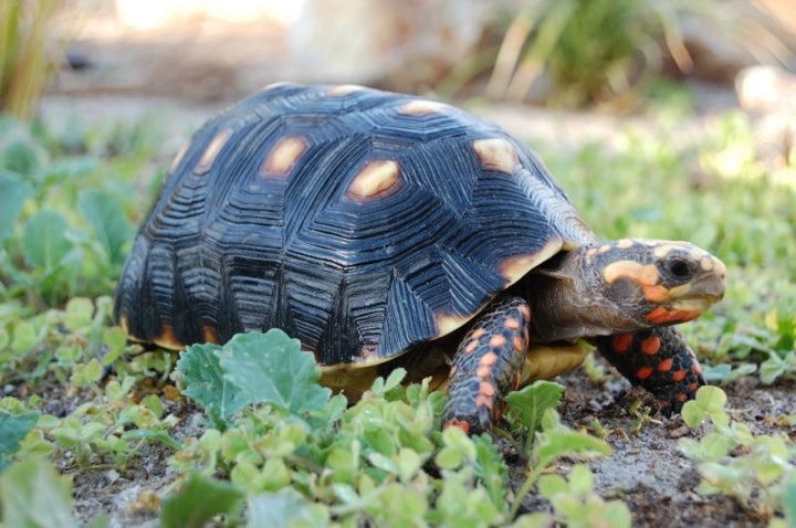 red footed tortoise - meme