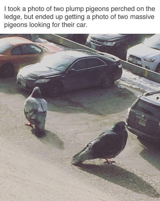 Massive pigeons - meme