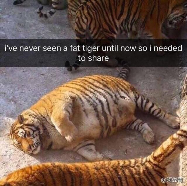 \[T]/ tigre templário obesidade - meme