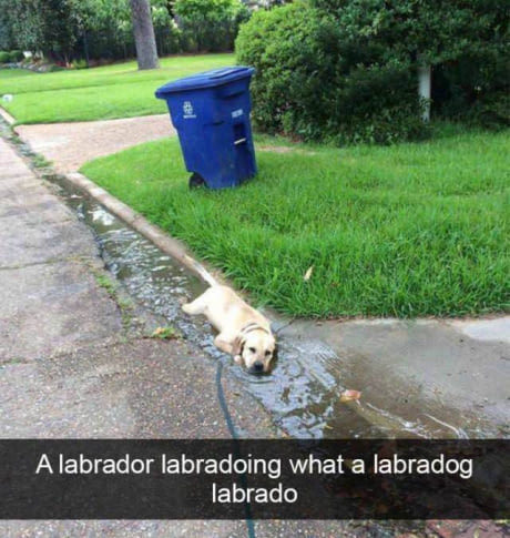 Labrador - meme