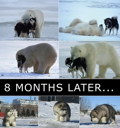 husky bear - meme