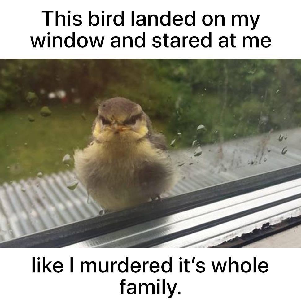 I didn't do it bird - meme